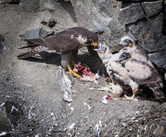 Falcon chicks1