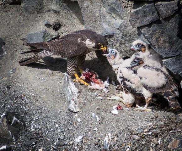Falcon chicks1